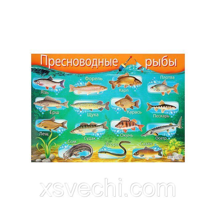 """Плакат """"Пресноводные рыбы"""" А2"""